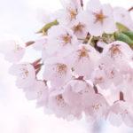 _shared-img-thumb-MARI85_harunopinksakura20120505_TP_V